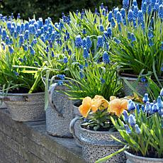 Grape Hyacinths For Containers Set of 25 Bulbs