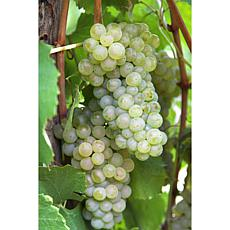 Grapes Thompson Seedless Set of 3 Plants