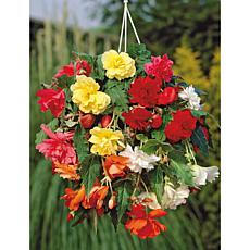Hanging Basket Begonias Mixed Colors Set of 5 Bulbs