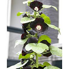 Hollyhocks Nigra Set of 5 Roots