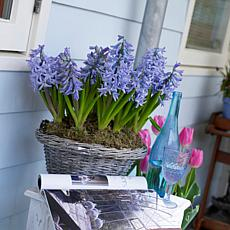 Hyacinths Fragrant Baby Blue Set of 10 Bulbs