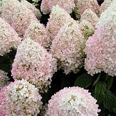 "Hydrangea Sweet Summer 4"" Potted Rocketliners® set of 3 Plants"