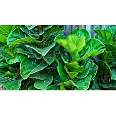 Leaf & Petal Designs 1-piece Fiddle Leaf Fig