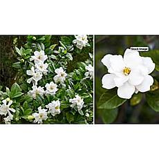 Leaf & Petal Designs 1-piece Fragrant Reblooming Patio Gardenia