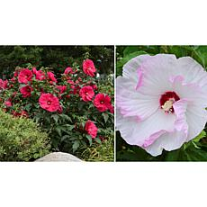 Leaf & Petal Designs 2-piece Paradise Hardy Hibiscus