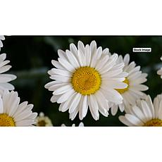 Leaf & Petal Designs 3-piece All-Season Shasta Daisy Set