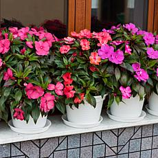Leaf & Petal Designs 3-piece Sun-Loving Impatiens