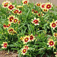 Leaf & Petal Designs 3-piece Super Star Coreopsis