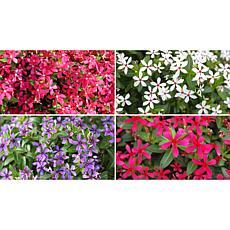 Leaf & Petal Designs 4-piece Kawaii Color Mix Vinca