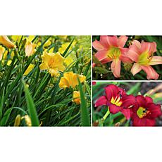 Leaf & Petal Designs 6-piece Color Burst Daylilies
