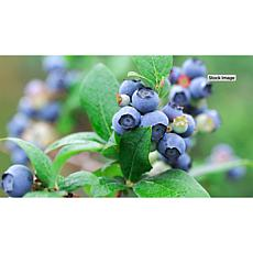 Leaf & Petal Designs Sunshine Blue Blueberry Plant