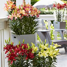 Lilies Pollen Free Patio Container Collection Set of 9 Bulbs