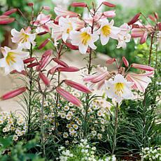 Lilies Regale Set of 5 Bulbs