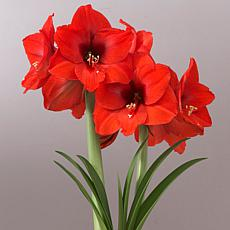 Mega Amaryllis Bulb Orange Souvereign Set of 1 Bulb