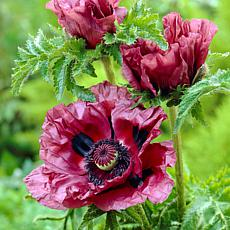Poppies Patty's Plum Set of 3 Roots