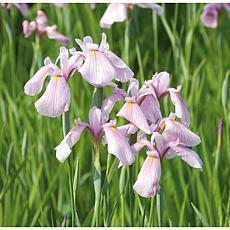 Premium Series Pond Marginal Iris Laevigata Rose Queen Kit