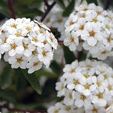 "Spiraea Snowmound 4"" Potted Rocketliners® Set of 3 Plants"