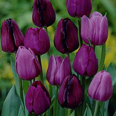 Tulips NonStop Purple Blend Set of 25 Bulbs
