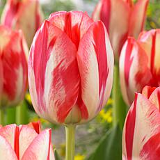 Tulips Spryng Break Set of 12 Bulbs
