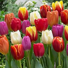 Tulips Triumph Mixture Set of 50 Bulbs