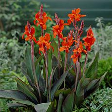 Van Zyverden Cannas Verdi Bulbs 5-pack