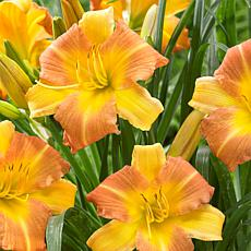 Van Zyverden Daylilies Punch Yellow - Set of 3 Roots