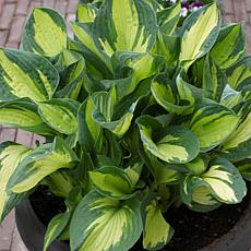 Van Zyverden Hosta Whirlwind - Set of 3 Roots