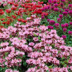 Van Zyverden Monarda Mixture - Set of 5 Roots