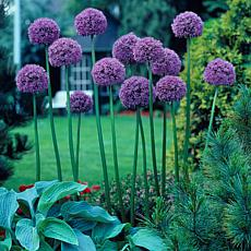 VanZyverden Allium Giant Gladiator 6-piece Bulb Set