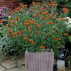 VanZyverden Butterfly Milkweed Kit w/ Planter, Planting Medium & Roots