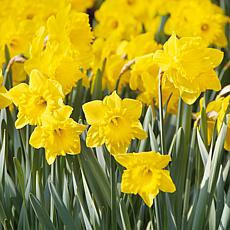 VanZyverden Daffodils Colossal Yellow Trumpet 100pc Set