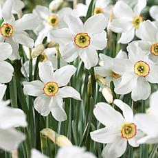 VanZyverden Daffodils Pheasant's Eye 12-piece Bulb Set