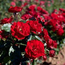 VanZyverden Europeana Roses Root