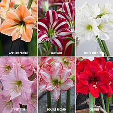 VanZyverden Exotic Amaryllis for Collectors 6pc Set