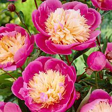 VanZyverden Peonies Bowl Of Beauty 3-piece Root Set