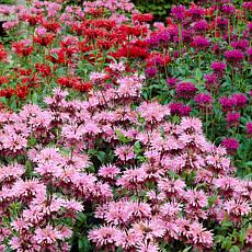 VanZyverden Perennial Plant of the Year 2021 Monarda Mixture 15 Roots