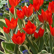 VanZyverden Tulips Multi-Flowering Praestans Unicum 12-bulb Set