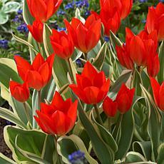VanZyverden Tulips Multi-Flowering Praestans Unicum 12pc
