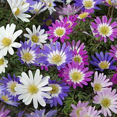 VanZyverden Wind Flowers Anemone Blanda 50pc Bulbs