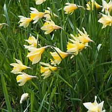 Wild Daffodils English Wild Daffodils & Lent Lily Set of 12 Bulbs