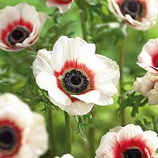 Wind Flowers Anemone Bicolor Set of 25 Bulbs