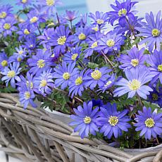 Wind Flowers Anemone Blue Shades Set of 50 Bulbs