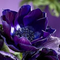 Wind Flowers Anemones Darkest Blue Set of 25 Bulbs