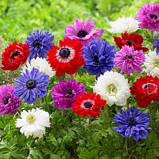 Wind Flowers Anemones St. Brigid Mixed Set of 25 Bulbs