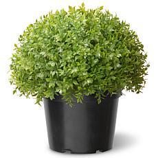 "Winter Lane 13"" Aritifical Topiary Japanese Holly Shrub"