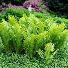 Woodland Plant TN Ostrich (Glade) Fern Set of 3 Roots