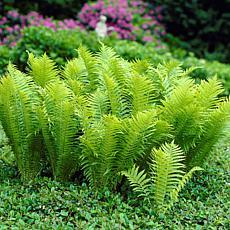 Woodland Plant TN Ostrich (Glade) Fern Set of 3 Roots