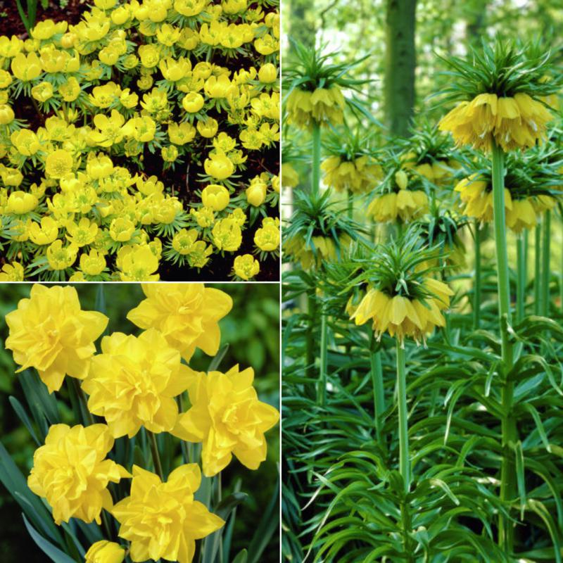 Deer, Rodent and Squirrel Resistant Yellow Garden Set of 25 Bulbs