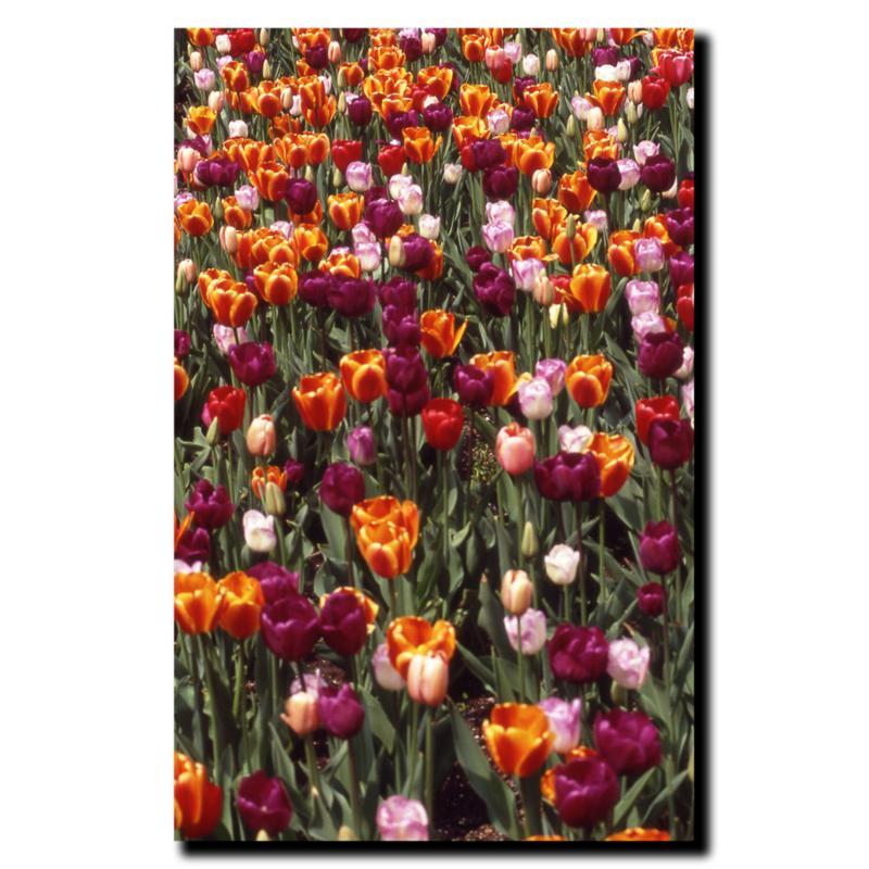 "Kurt Shaffer ""Multi-Colored Tulips"" Print - 18"" x 24"""