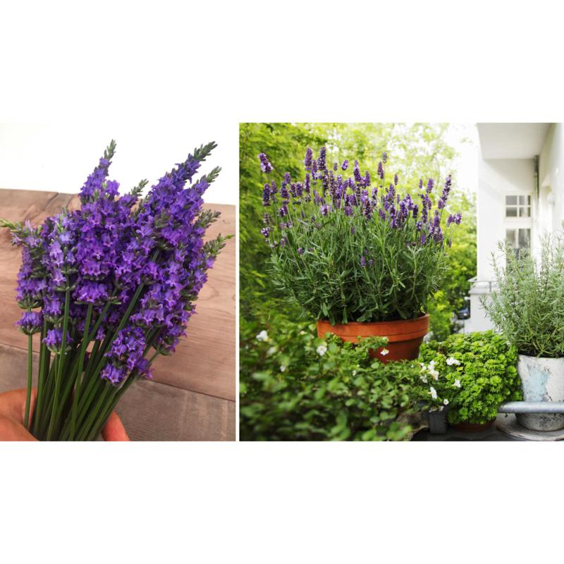 Leaf & Petal Designs 1-piece Sensational Lavender